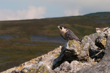 Peregrine Falcon in natural surroundings