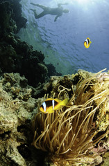 anemone fish and snorkeler