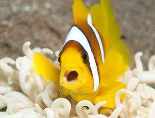 anemone fish with open mouth