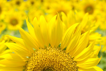満開のヒマワリの花