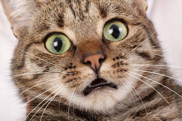 gros plan chat effrayé