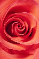 bud of a rose close up