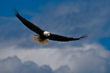 Acrylic Prints Eagle Bald eagle soaring
