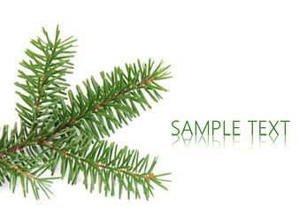 Spruce branch over white background