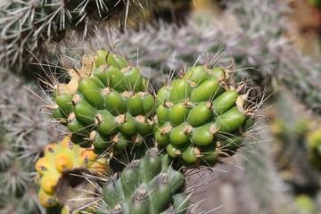 Kaktus cylindropuntia spinosior auf Gran Canaria