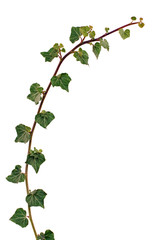 Ivy vine isolated on white