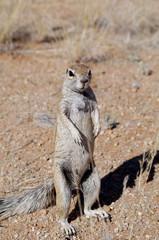 Meerkat/suricate in namib desert (Namibia)