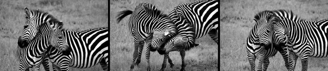 Black and white zebras. Safari in Serengeti, Tanzania