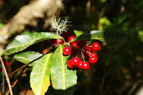 Arbuste avec boules rouges toxiques photo libre de