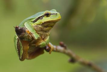 hanging tree frog