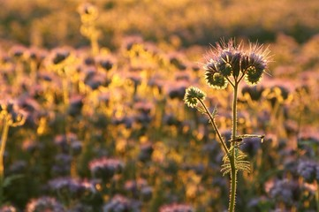 Fototapete - Flowering herbs in the field backlit by the setting sun