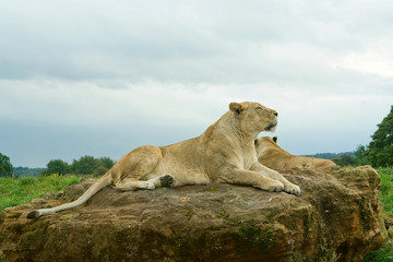 Wall Mural - Lioness resting