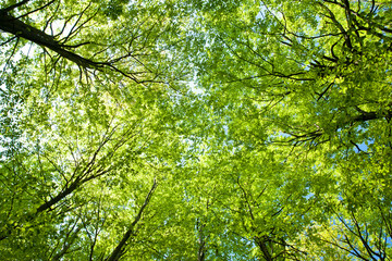 Aluminium Prints On the ceiling beech trees upward the sky