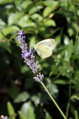 papillon sur brin de lavande