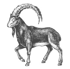wild goat drawing high quality