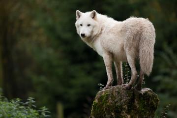 loup blanc hurlement hurler peur chien animal sauvage.jpg