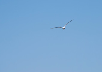 gull in cloudless sky