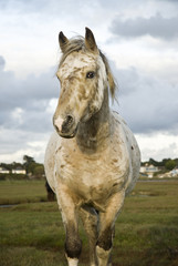 A beautiful white appaloosa horse standing in field