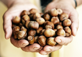 Hazelnuts handful in elderly village woman hands.