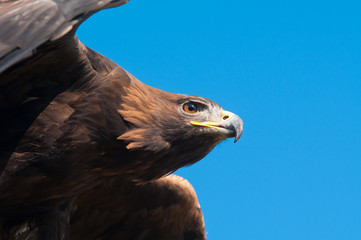 Golden Eagle against blue sky