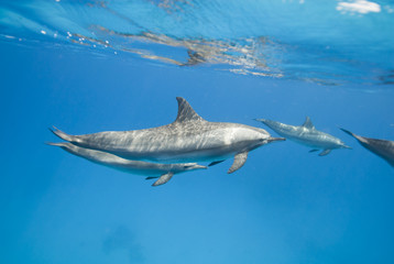 Mother and juvenile Spinner dolphins in the wild.