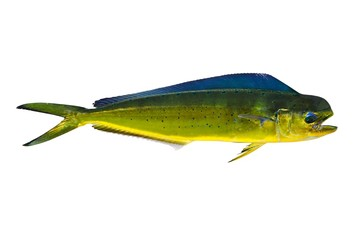 Aka Dorado dolphin fish mahi-mahi on white
