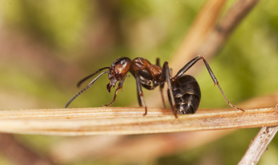 Wood ant (Formica rufa) sitting on fir needle.