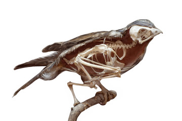 stuffed bird with skeleton inside isolated on white