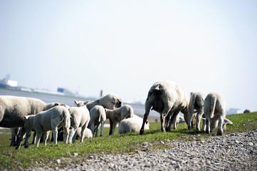 Sheep flock herd on dike