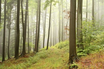 Keuken foto achterwand Bos in mist Beech trees in autumn forest on the slope on a foggy day