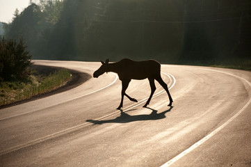 moose crossing highway in early morning