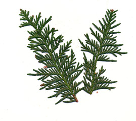 Red Cedar needles