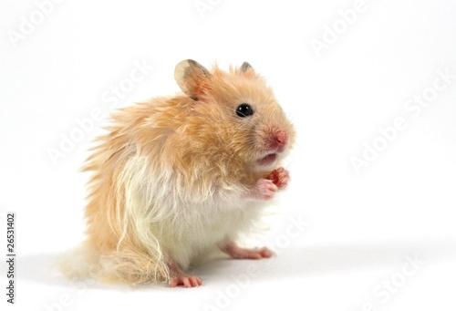 avsugning 500 hamster free porr