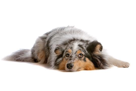 Front view of shetland sheepdog, sheltie lying down