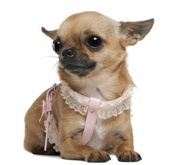Chihuahua, 5 years old, dressed up and sitting