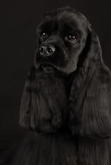 cocker spaniel head portrait