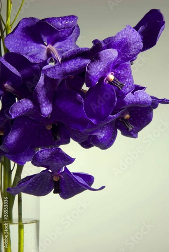 orchid e vanda photo libre de droits sur la banque d 39 images image 26553836. Black Bedroom Furniture Sets. Home Design Ideas