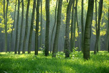pioppeto alberi 1170