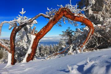 buried pine in red kolor on januari