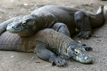 Komodo dragon – only in Indonesia