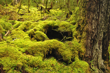 Moss covered forest. Routeburn Track, New Zealand