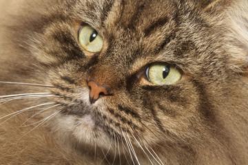 portrait de siberian cat de face