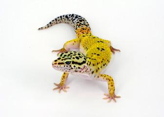 geco leopardino Eublepharis lucertola
