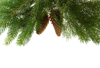 fir tree with cones