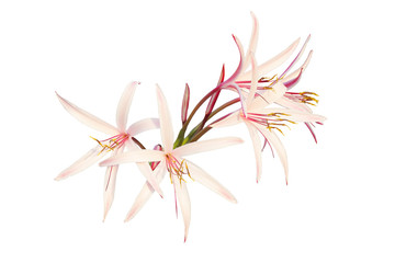 Giant spider lily isolated on white
