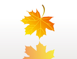 Yellow and orange maple leaf with reflection isolated over white
