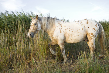 A beautiful appaloosa stallion horse