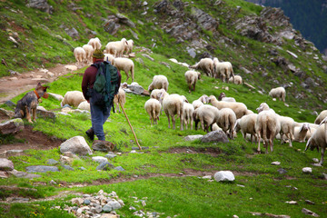 shepherd at work