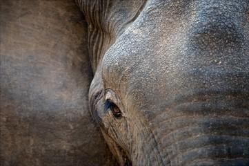 Eye of an elephant with eyelashes.