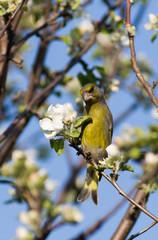 Carduelis chloris, Greenfinch